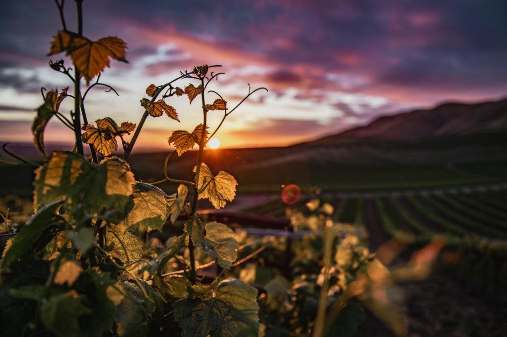 soleil vignes